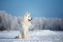 White Shepherd Dog Outdoors In...