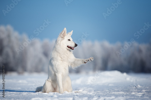 fototapeta na ścianę white shepherd dog outdoors in winter