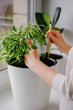 young woman loosens a ficus plant in a white pot. Concept of home garden. Spring time. Stylish interior with a lot of plants. Taking care of home plants. Template.