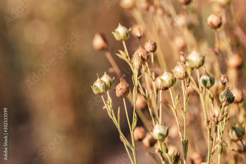 Ripe flax capsules in field, selective focus