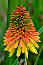 Red Hot Poker Flower, Shores Acres State Park, Oregon