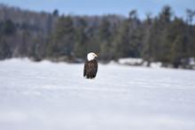 Bald Eagle4