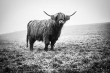 Highland Cattle Kyloe Schottis...