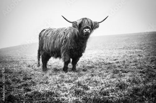 Fototapeta Highland Cattle Kyloe Schottisches Hochlandrind obraz