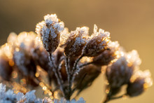 Dry Blossoms Of Achillea Mille...