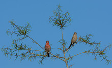 Mr. And Mrs. House Finch In A ...