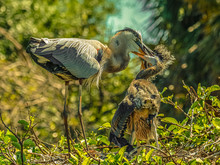 Great Blue Heron Mother And Chicks In Morning Light