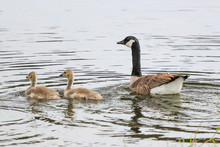 Goose And Goslings In Jacksonv...