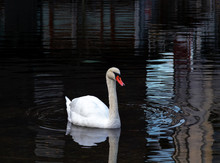 White Swan With Red Beak In Black Water