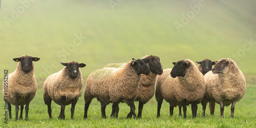 a cute group of sheep on a pasture stand next to each other and look into the ca Canvas Print