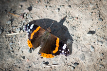 Red Admiral Butterfly On The G...