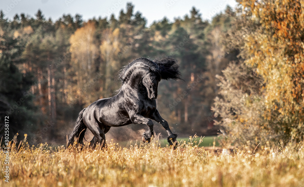 Fototapeta Riesian mares galloping in the meadow