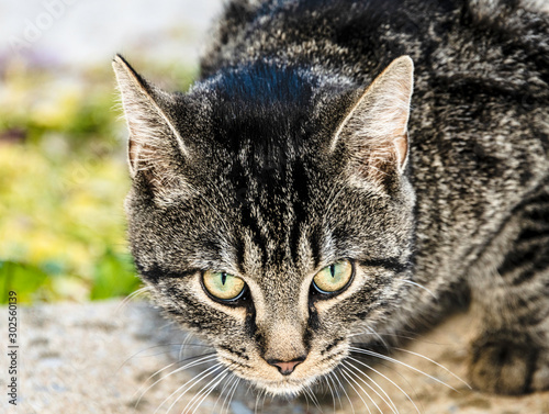 isolated mean looking grey striped cat outdoors
