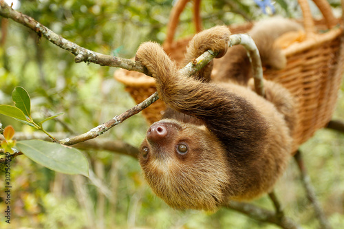 Photo sloths (sloth) of an animal rescue center feed on a tree