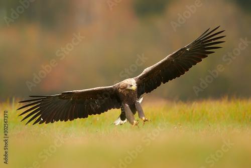 Photographie White tailed eagle (Haliaeetus albicilla)
