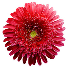 Gerbera Flower Red. Flower Isolated On White Background. No Shadows With Clipping Path. Close-up. Nature