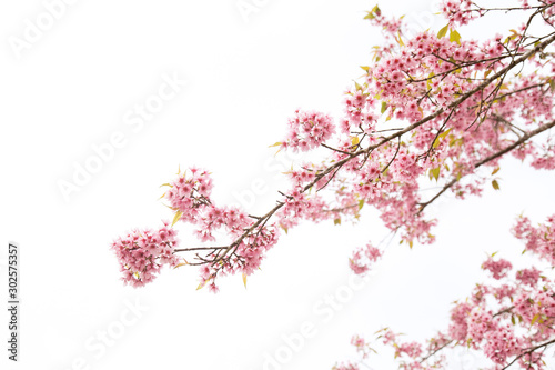 Beautiful cherry blossom or sakura in spring time over  sky Poster Mural XXL