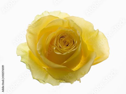 Top view of yellow translucent rose on a white background