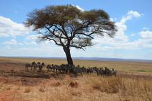 Herd Of African Zebras Standin...
