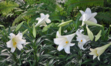Easter Lilies On Display