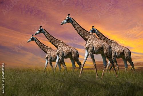 giraffe in the savannah Canvas Print