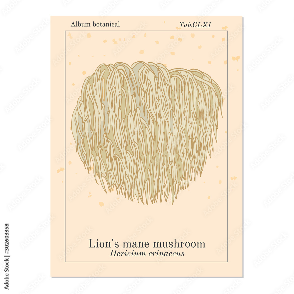 Photo  Lion s mane mushroom Hericium erinaceus , edible and medicinal plant