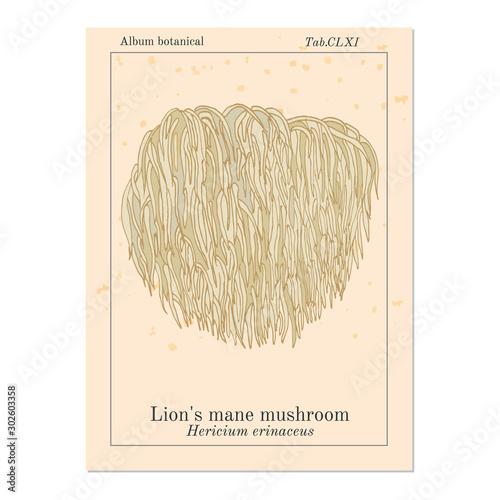 Obraz na płótnie Lion s mane mushroom Hericium erinaceus , edible and medicinal plant