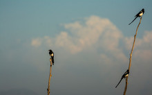 Three Magpies On Little Trees At Market Lake National Wildlife Refuge