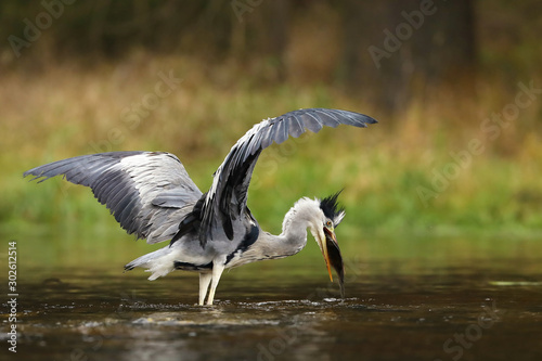 Grey heron - Ardea cinerea - with fish in water Fototapeta
