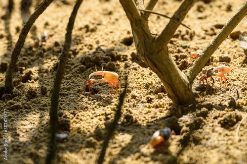 Photo Uca vocans, Fiddler Crab walking in mangrove forest at Phuket beach, Thailand