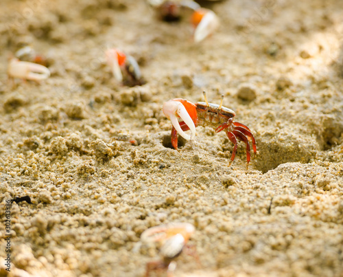 Uca vocans, Fiddler Crab walking in mangrove forest at Phuket beach, Thailand Wallpaper Mural