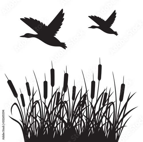 Fototapeta  Flying mallard duck and reeds vector illustration