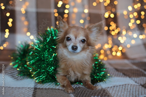 Leinwand Poster  redhead little dog Chihuahua sits on a bed with New Year lights