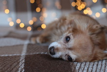 Redhead Little Dog Chihuahua Sits On A Bed With New Year Lights