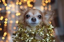 Redhead Little Dog Chihuahua...