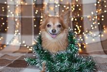 Ginger Chihuahua Christmas  Mo...