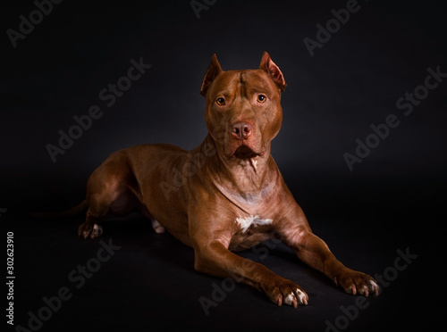 Foto Thoroughbred American Pit Bull Terrier dog lying on a black background