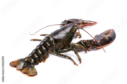 LWTWL0025745 Fresh European common lobster isolated against a white studio background.