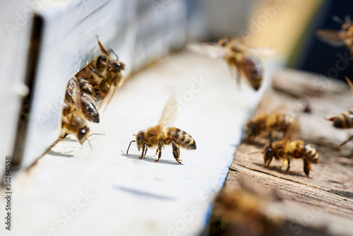 Honey bee in the entrance to a wooden beehive. Wallpaper Mural