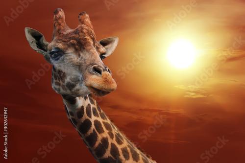 Plakat Żyrafa na tle chmurnego nieba