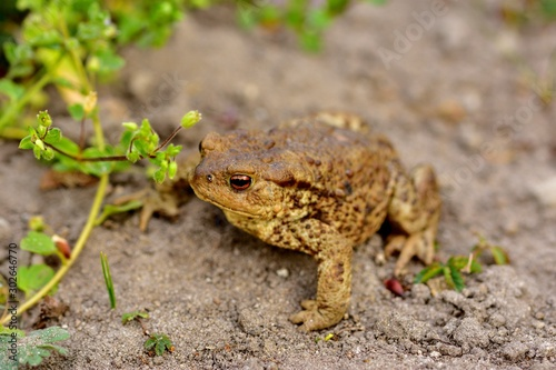 Leniwa żaba na piasku Canvas Print