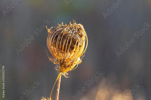 Obraz na plátně  Dry wild carrot flower in autumn
