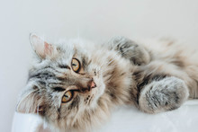 An Adorable Persian Cat Laying Down On The Bed With Natural Light.