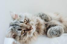An Adorable Persian Cat Laying...