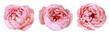 Leinwanddruck Bild - three peony rose buds isolated on white background