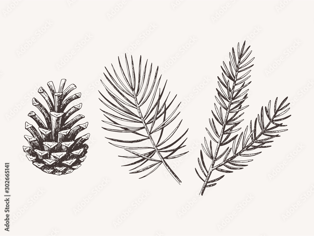 Fototapety, obrazy: Hand drawn conifer branches and cones. Vector illustration of spruce and pine