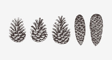 Hand Drawn Conifer Cones. Vect...