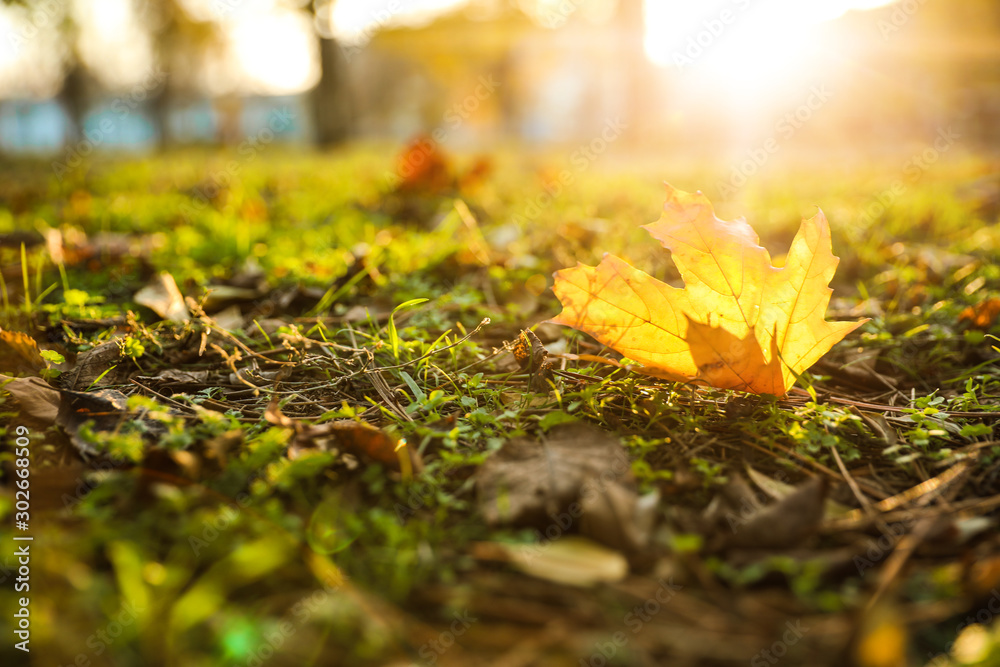 Fototapety, obrazy: Autumn leaf on green grass in park. Bokeh effect