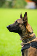canvas print picture - Belgian Malinois in focus