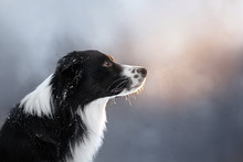 Beautiful Border Collie Portrait At Sunset In A Snowy Park